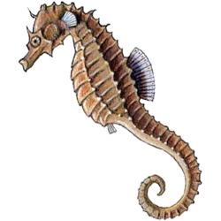 Морской конёк — рыба, картинка цветная