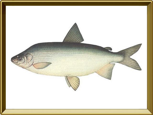 Муксун — рыба, фото в рамке №1