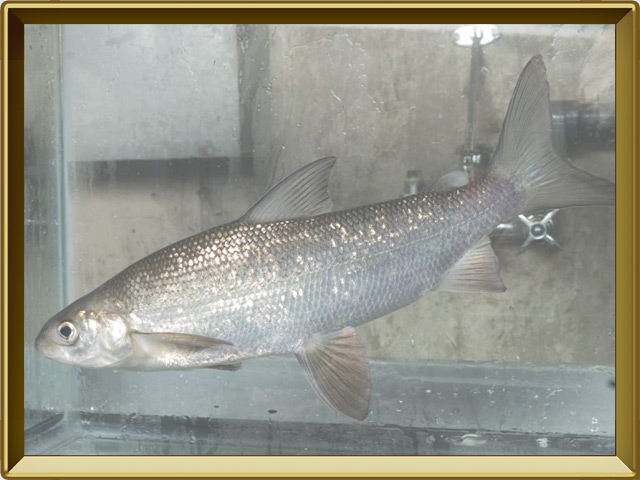 Муксун — рыба, фото в рамке №2