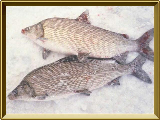 Муксун — рыба, фото в рамке №3