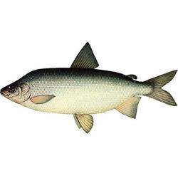 Муксун — рыба, картинка цветная