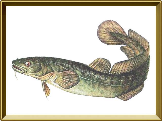 Налим — рыба, фото в рамке №1