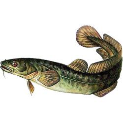 Налим — рыба, картинка цветная