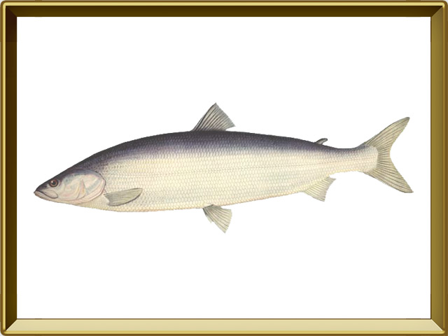Нельма — рыба, фото в рамке №1