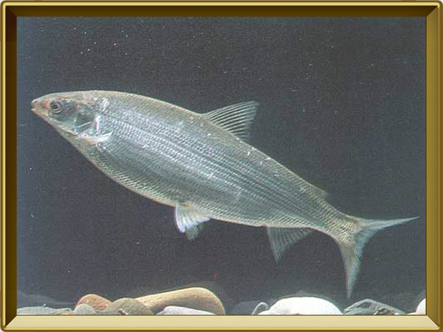 Нельма — рыба, фото в рамке №2