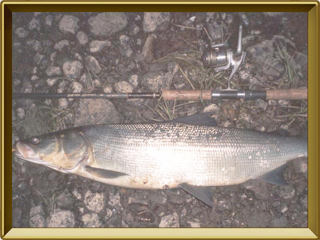 Нельма — рыба, фото в рамке №3
