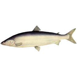 Нельма — рыба, картинка цветная