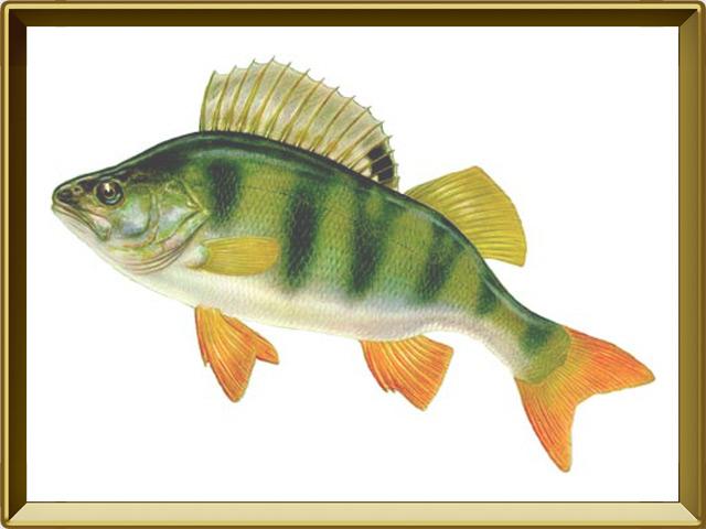 Окунь речной — рыба, фото в рамке №1