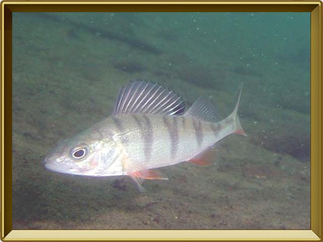 Окунь речной — рыба, фото в рамке №2