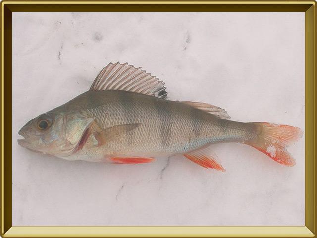 Окунь речной — рыба, фото в рамке №3