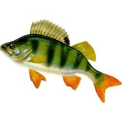 Окунь речной — рыба, картинка цветная