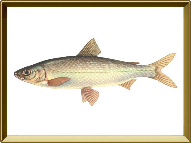 Омуль — рыба, фото в рамке №1