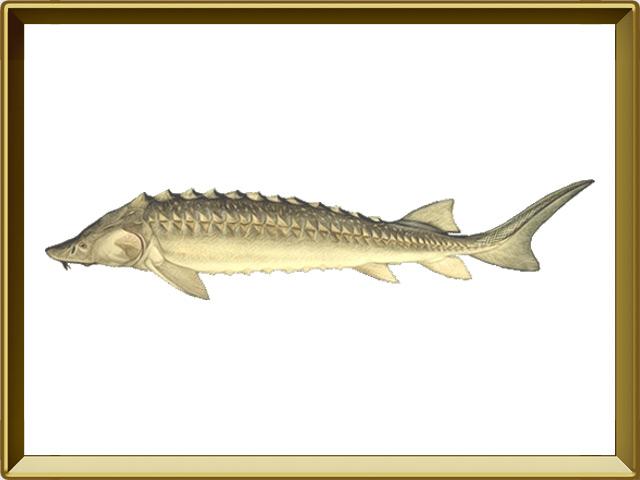Осётр — рыба, фото в рамке №1