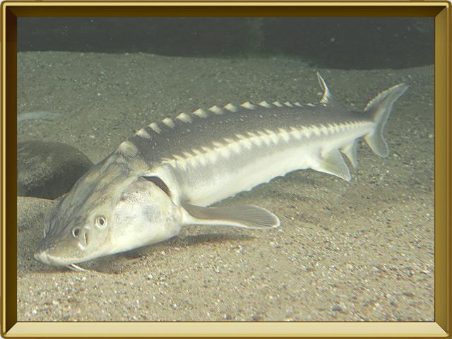 Осётр — рыба, фото в рамке №2