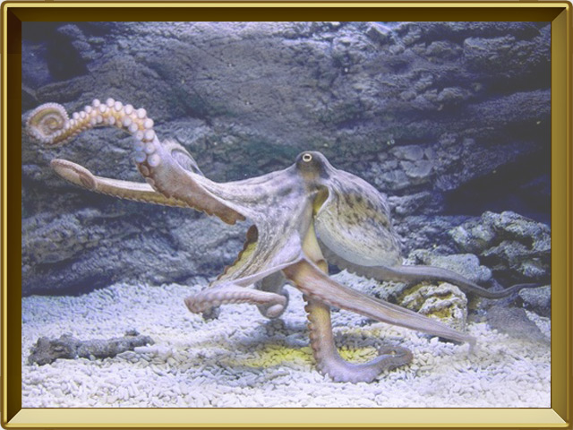Осьминог — рыба, фото в рамке №2
