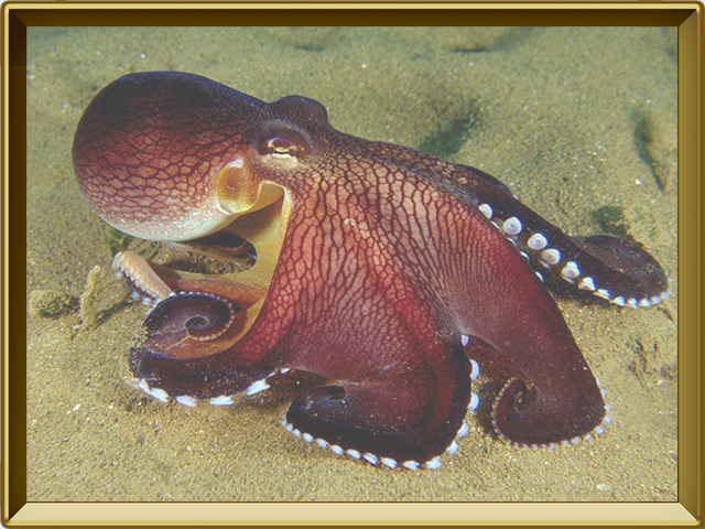 Осьминог — рыба, фото в рамке №3