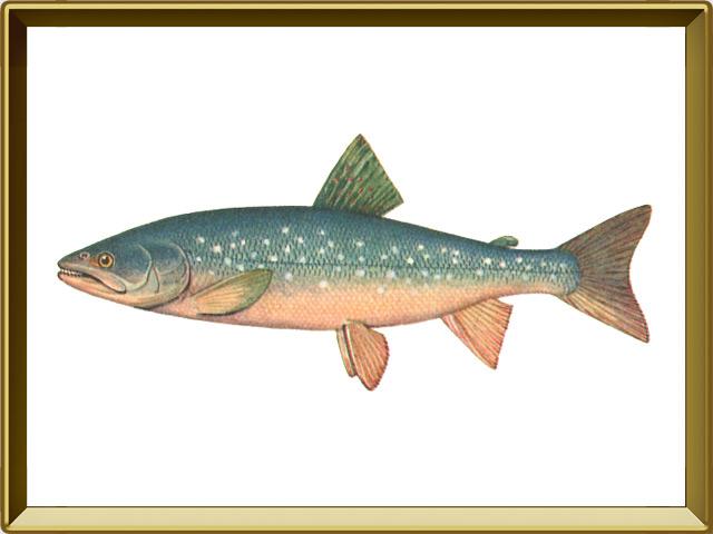 Палия — рыба, фото в рамке №1