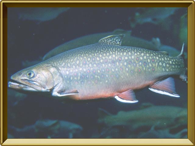 Палия — рыба, фото в рамке №2
