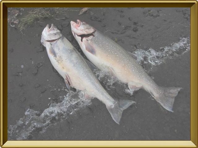 Палия — рыба, фото в рамке №3