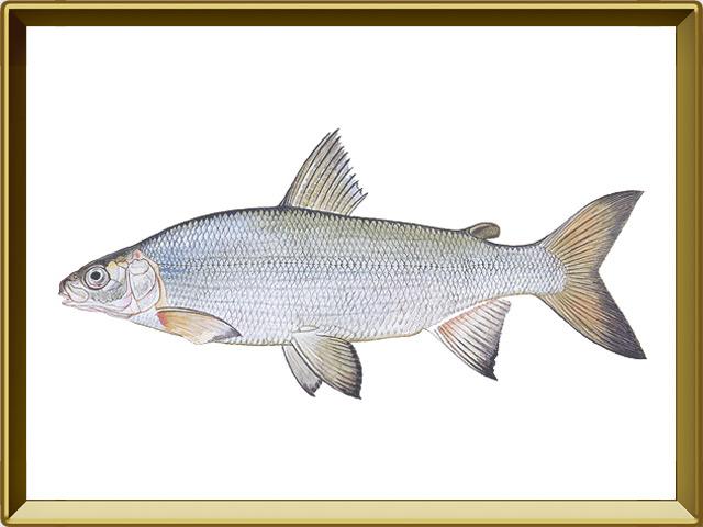 Пелядь — рыба, фото в рамке №1