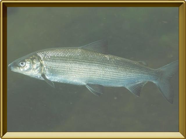Пелядь — рыба, фото в рамке №2