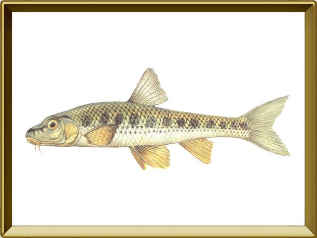 Пескарь — рыба, фото в рамке №1