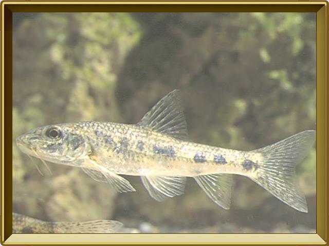 Пескарь — рыба, фото в рамке №2