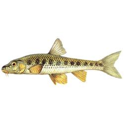 Пескарь — рыба, картинка цветная
