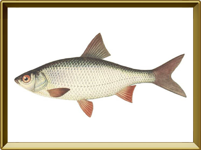 Плотва — рыба, фото в рамке №1