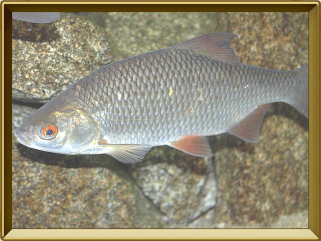 Плотва — рыба, фото в рамке №2