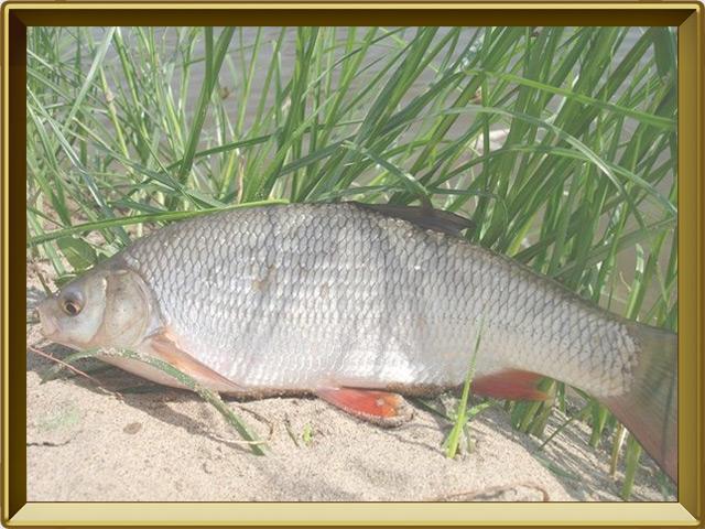 Плотва — рыба, фото в рамке №3