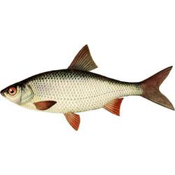 Плотва — рыба, картинка цветная