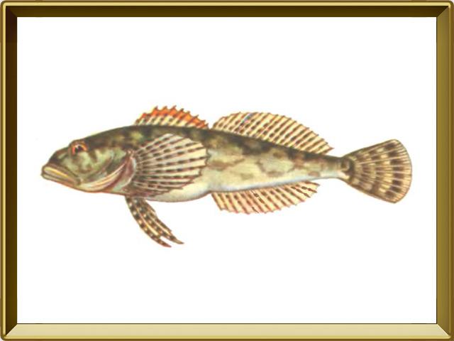 Подкаменщик — рыба, фото в рамке №1