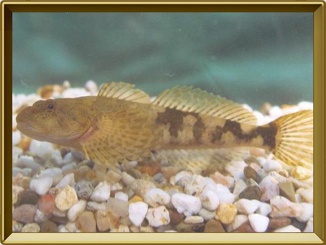 Подкаменщик — рыба, фото в рамке №2