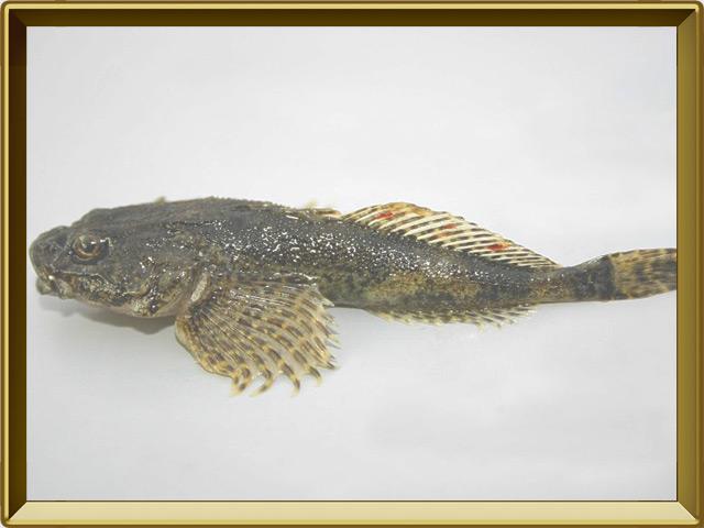Подкаменщик — рыба, фото в рамке №3