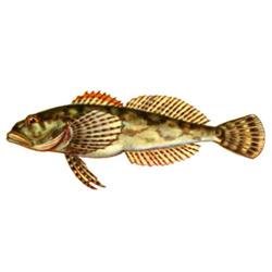 Подкаменщик — рыба, картинка цветная