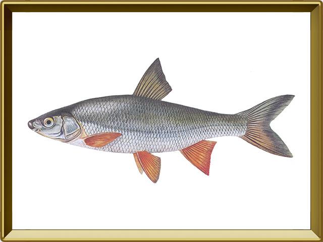 Подуст — рыба, фото в рамке №1