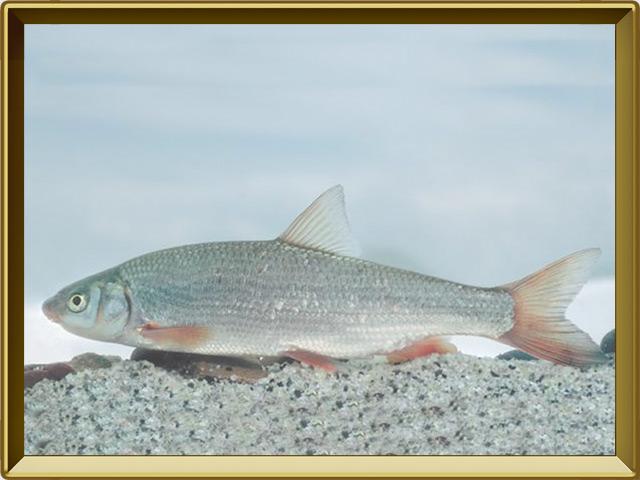 Подуст — рыба, фото в рамке №2