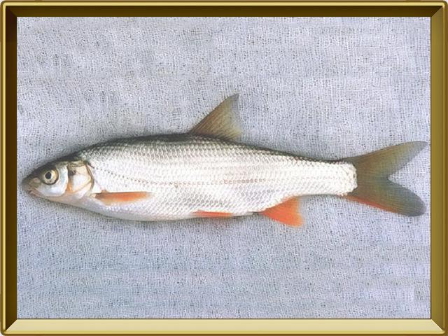 Подуст — рыба, фото в рамке №3