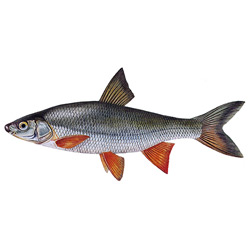 Подуст — рыба, картинка цветная