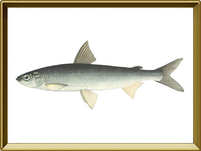 Ряпушка европейская — рыба, фото в рамке №1