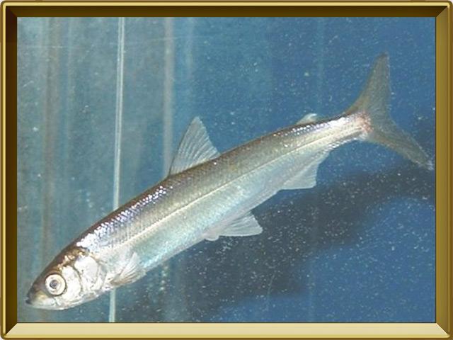 Ряпушка европейская — рыба, фото в рамке №2