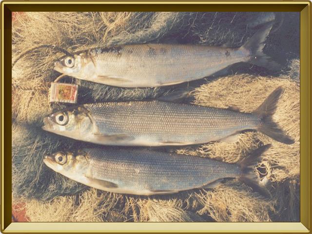 Ряпушка европейская — рыба, фото в рамке №3