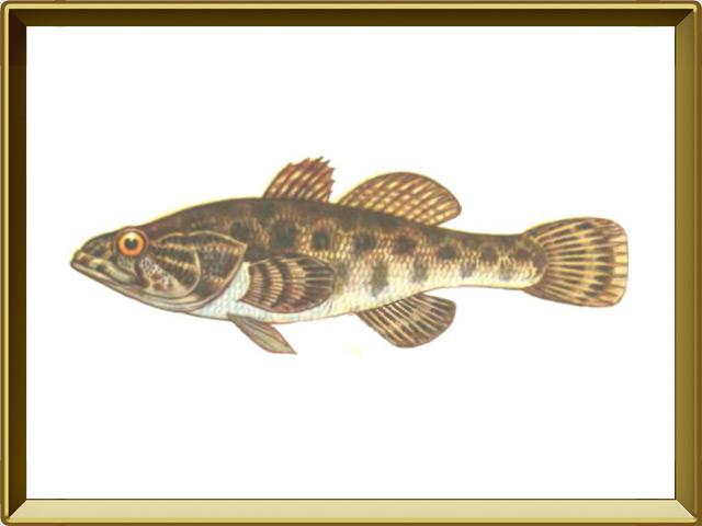 Ротан — рыба, фото в рамке №1