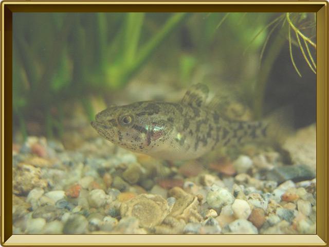 Ротан — рыба, фото в рамке №2