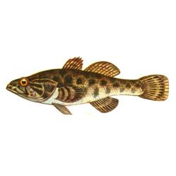 Ротан — рыба, картинка цветная