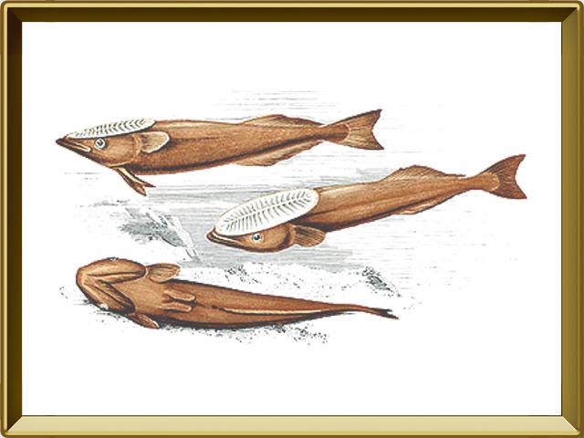 Рыба-прилипала — рыба, фото в рамке №1