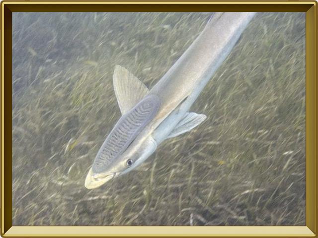 Рыба-прилипала — рыба, фото в рамке №2