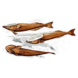 Рыба-прилипала — рыба, картинка цветная