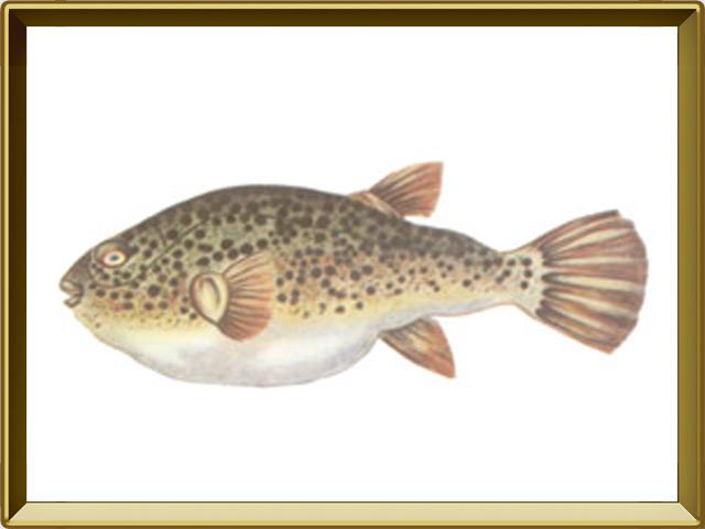 Рыба-собака — рыба, фото в рамке №1